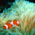clown-fish-anenome